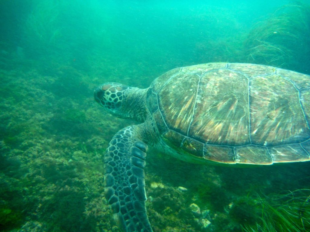 sea turtles on our kayak and snorkel tours