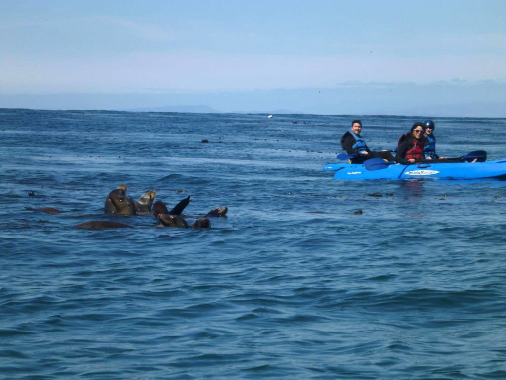 sea lions saying hello to kayakers