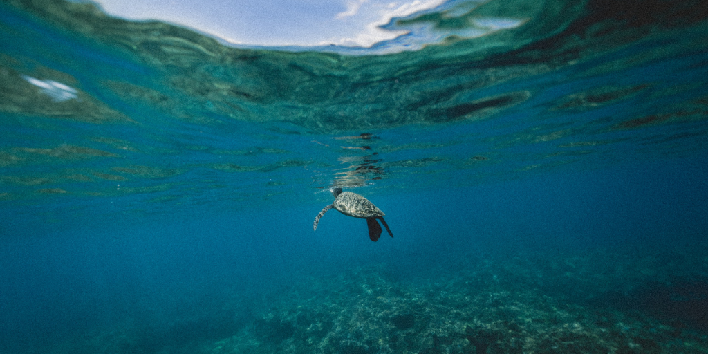 a sea turtle swimming in the La Jolla Ecological Reserve